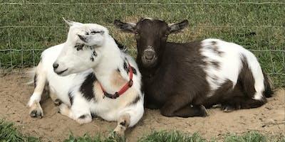 Goat Yoga at Mount Hope Farm Barn Monday, July 29 at 5:45 pm