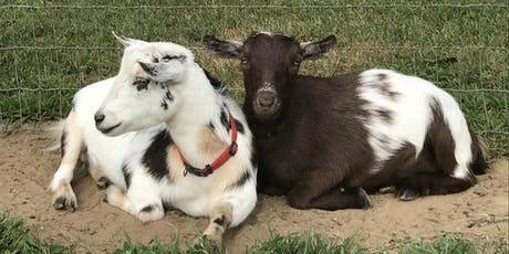 Goat Yoga at Mount Hope Farm Barn Monday, July 29 at 5:45 pm tickets