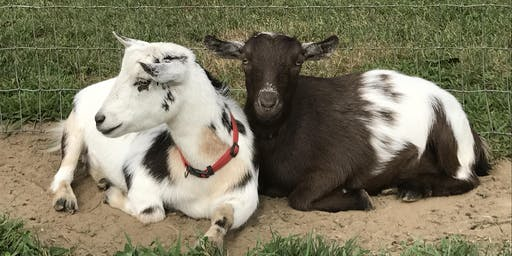 Goat Yoga at Mount Hope Farm Barn Monday, July 29 at 5:45 pm