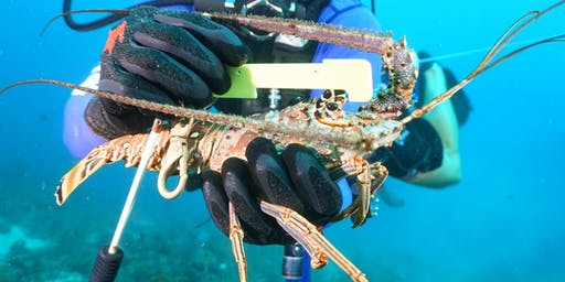 FWC Management of the Florida Lobster