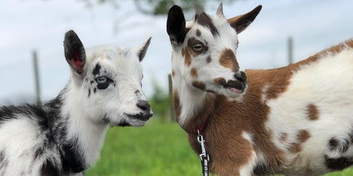 POP UP! Baby Goat Yoga on Wednesday!