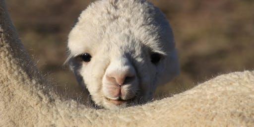 Alpaca Farm Tour - The Alpaca Outing