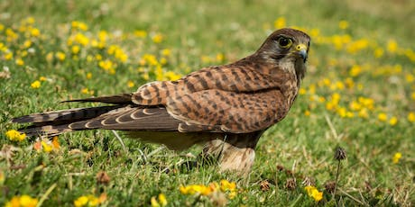 Birds of Prey of the North Kent Marshes tickets