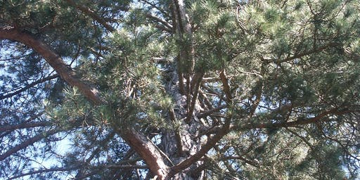 Conifers at Bedgebury Pinetum