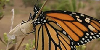Medicinal Herb Walks of Santa Barbara - Goleta Butterfly Grove