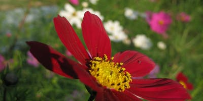 Cut Flowers: Succession Planting, Harvesting Tips, & Pest Control
