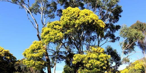 Wattle Day at Tower Hill