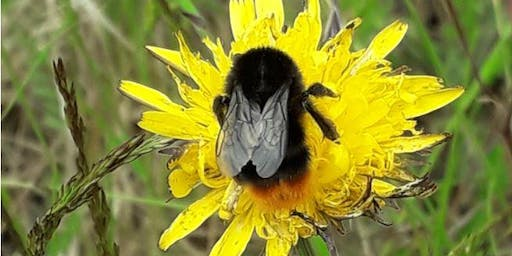 Bee Walk - with Bumblebee Conservation Trust