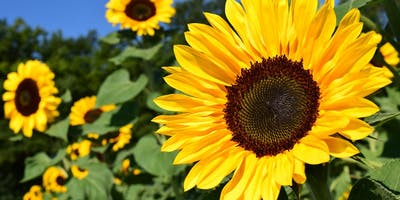 Sunflowers for Wishes - Photographer Pass