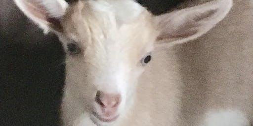 Saturday Afternoon Goats, Alpaca, Deer Snuggles and Feeding