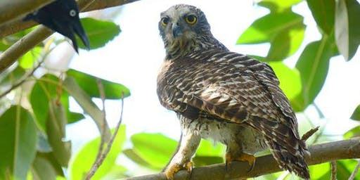 Powerful Owls in the City - Current Research and Where To Next