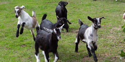 Goat Yoga at Tattooed Moose 7/21/19