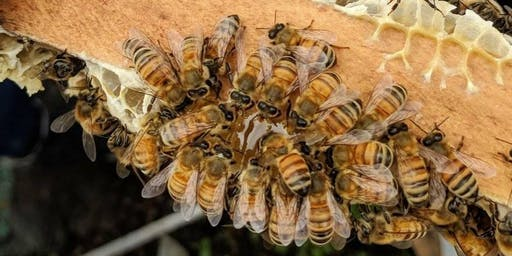 Introduction à l'apiculture / Intro to Beekeeping