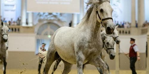 Spanish Riding School: Piber Meets Vienna