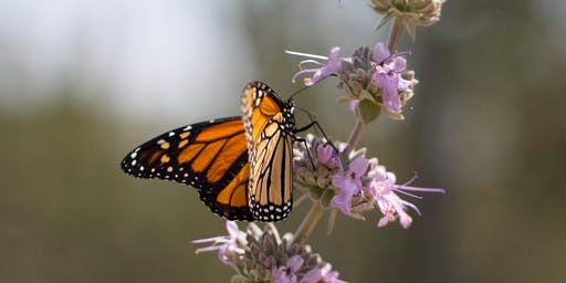 NEW! Western Monarchs: Creating Habitat with Native Plants with Lili Singer