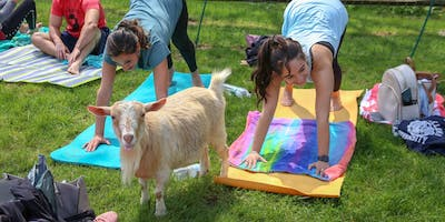 Goat Yoga at The Saratoga Winery August