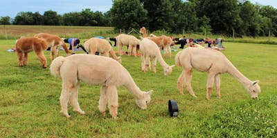 Llamaste Yoga on the Farm