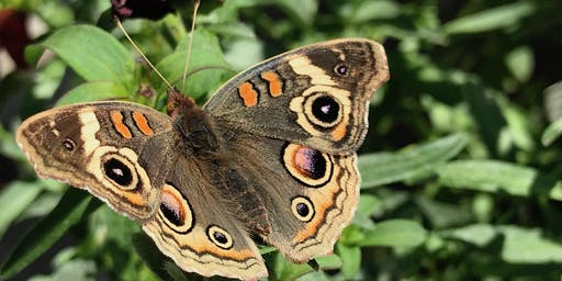 Art, Science, and the Common Buckeye: 3 day workshop at garden