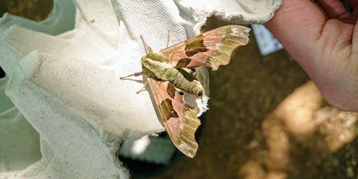 Dunsmore: National Moth Night