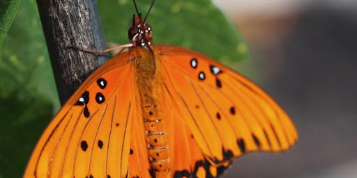 Gulf Fritillary Butterfly: Science and Art Workshop
