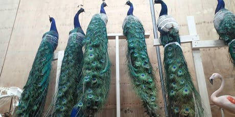 Peacock Taxidermy tickets