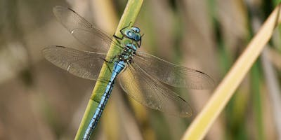 Dragonflies and Damselflies for Beginners at Foxearth Meadows