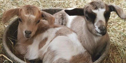 Goat Yoga Gift Certificate