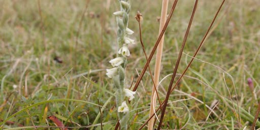 Autumn's Ladies Tresses