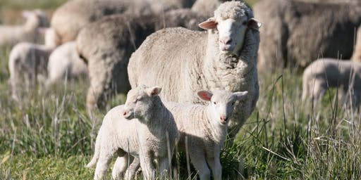 Optimisation of ewe performance and early lamb survival