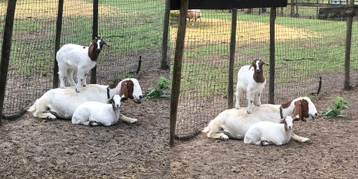 Goat YOGA Charity for Sweet Paws Rescue