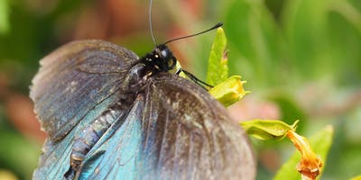 Art, Science, and the Pipevine Swallowtail. 3 Day Workshop.
