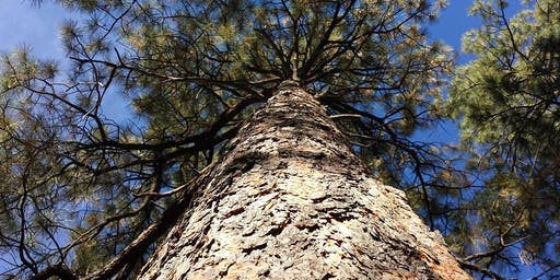 Advanced Arborist Workshop - Pinus: Identification and Diagnostics