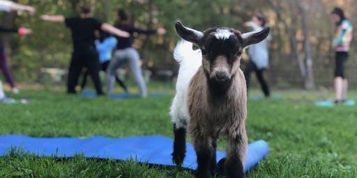 Goat Yoga Fundraiser ~ support Future Farmers of America! Class 2: 7-8 pm