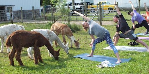 Alpaca Yoga at the Market