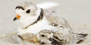 Stewardship Design for Threatened Shorebirds