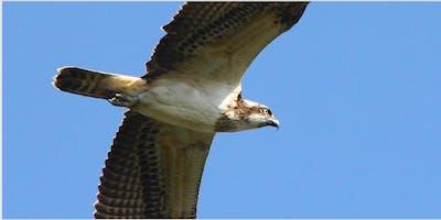 Morning Osprey Walks at RSPB Arne