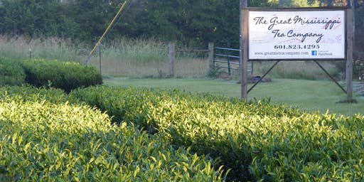 From Seed to Cup: A Southern Tea Experience