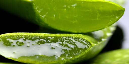 Health Benefits and Home Uses of Aloe