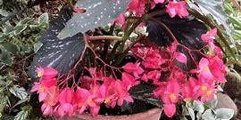 Begonias, California-Style