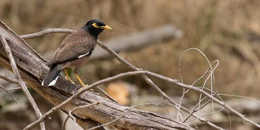 Common Myna Control Community Information Session