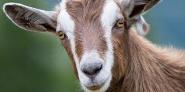 Goat Storytime
