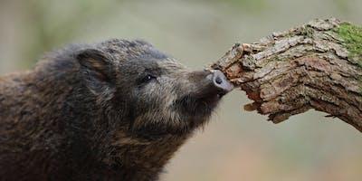 Wild Boar - Forest of Dean