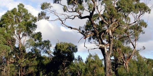 All About Black Gums - Browning Street Reserve