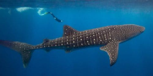 Swimming with Whale Sharks-Laura & Stewart's group