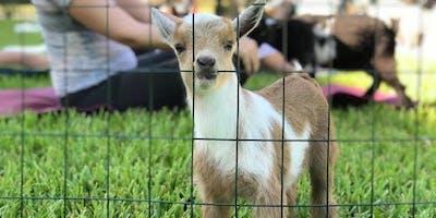 Goat Yoga Oklahoma CIty