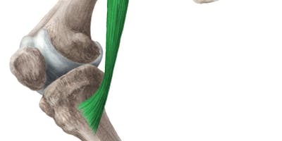 The knee in Movement