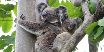 NaturallyGC Koala Conservation Walk