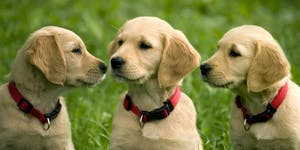 Terrible Three (Jumping Up, Recall & Leash Manners),...