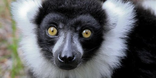 Lemur Encounter