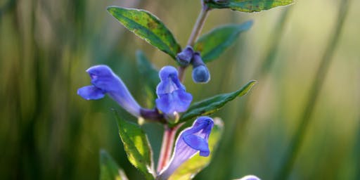 Edible and Medicinal plants of the Tahoe Sierra